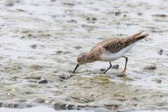 Water Bird Sandpiper, Common Sandpiper Actitis hypoleucos. Wildlife royalty free stock image