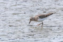 Water Bird Sandpiper, Common Sandpiper Actitis hypoleucos. Wildlife royalty free stock photography