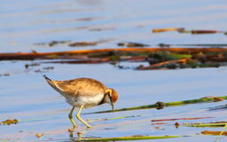 Water bird. Is standing in water of lake for searching food. light gray beak, saffron color head . white neck and chest, light brown eyes, eye to neck black Stock Images