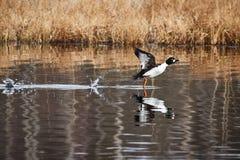 Water bird taking off and splashing water Stock Photos