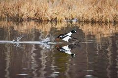 Water bird taking off and splashing water Stock Images