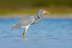 Water bird Tricolored Heron, Egretta tricolor, with orange bill in nature habitat. Bird in the sea. Morning light water with bird. Stock Photography