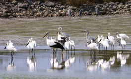 Water birds Stock Images