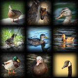 Water birds. Collection of images with water birds Stock Photography