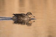 Common Teal, Teal, Anas crecca. Water Birds - Ducks - Common Teal, Teal, Anas crecca Stock Photography