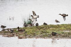 Common Teal, Teal, Anas crecca. Water Birds - Ducks - Common Teal, Teal, Anas crecca Stock Photos