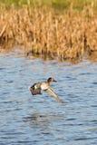 Common Teal, Teal, Anas crecca. Water Birds - Ducks - Common Teal, Teal, Anas crecca Stock Image