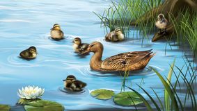 Water birds, ducks and ducklings in the water stock illustration