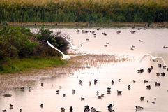 Water birds. An example of wetland with high diversity and concentration of wintering bird species Italy, Isola della Cona Royalty Free Stock Image