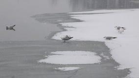 Water birds on Frozen river stock video