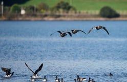 Brent Goose, Branta bernicla. Water Birds - Gooses - Brent Goose, Branta bernicla Royalty Free Stock Photography