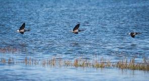 Brent Goose, Branta bernicla. Water Birds - Gooses - Brent Goose, Branta bernicla Stock Image