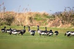 Brent Goose, Branta bernicla. Water Birds - Gooses - Brent Goose, Branta bernicla royalty free stock photo