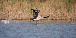 Canada Goose, Branta Canadensis stock photo
