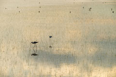 Water birds in lagoon Royalty Free Stock Images