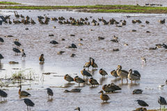 Water birds in Lake Manyara Stock Image