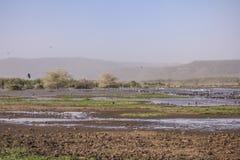 Water birds in Lake Manyara Royalty Free Stock Image