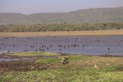 Water birds in Lake Manyara Stock Photo