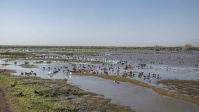 Water birds in Lake Manyara Stock Images