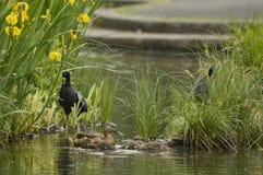Water birds Stock Image