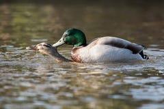 Mallard, Duck, Anas platyrhynchos. Water Birds - Mallard, Duck, Anas platyrhynchos - Copulation Stock Photography