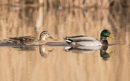 Mallard, Duck, Anas platyrhynchos. Water Birds - Mallard, Duck, Anas platyrhynchos Stock Photos