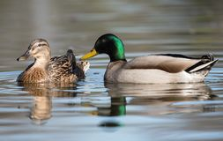 Mallard, Duck, Anas platyrhynchos. Water Birds - Mallard, Duck, Anas platyrhynchos Royalty Free Stock Photos