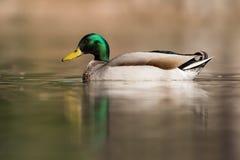 Mallard, Duck, Anas platyrhynchos. Water Birds - Mallard, Duck, Anas platyrhynchos Stock Images