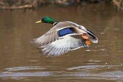 Mallard, Duck, Anas platyrhynchos. Water Birds - Mallard, Duck, Anas platyrhynchos Stock Image