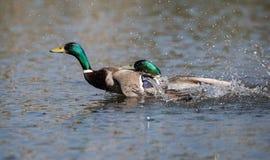 Mallard, Duck, Anas platyrhynchos. Water Birds - Mallard, Duck, Anas platyrhynchos Stock Photo