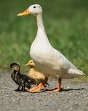 Mallard, Duck, Anas platyrhynchos. Water Birds - Mallard, Duck, Anas platyrhynchos Royalty Free Stock Photography