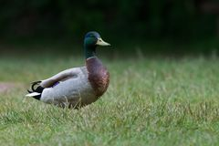 Mallard, Duck, Anas platyrhynchos. Water Birds - Mallard, Duck, Anas platyrhynchos Royalty Free Stock Image