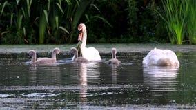 Water Birds - Mute Swan, Cygnus olor