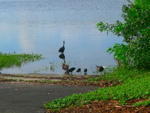 WATER BIRDS ARE OUT WITH THEIR LITTLE ONE AT WALDEN LAKE. Several ducks, and other seabirds are out with their little once searching the waters edge for Royalty Free Stock Photo