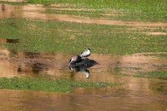 Water birds in Rio Putana valley in the highlands of the Atacama Desert, Chile royalty free stock photos
