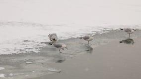 Water birds - seagulls on Frozen river stock footage
