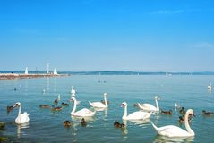 Water birds, swans, ducks and seagulls near the pier of Siofok i. N light bright water of Balaton lake with yachts and a coast at the background, Hungary Stock Photography