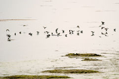 Water birds Tring sp. During wintering Italy, Valle Cavanata nature reserve Royalty Free Stock Photo
