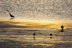 Water birds in a waterhole as the sun rises. Royalty Free Stock Photography