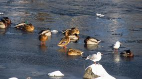 Water birds in winter Royalty Free Stock Photos