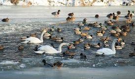 Water birds in winter Stock Photo