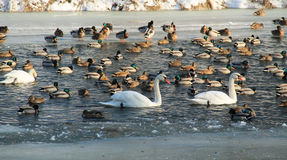 Water birds in winter Royalty Free Stock Photography