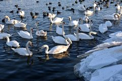 Water birds in winter. Swans, mallards and coots on Danube river in winter Royalty Free Stock Images
