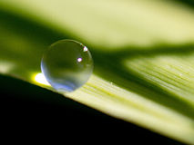Water on blade of grass. A beaded drop of water on a blade of grass Royalty Free Stock Images