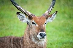 Water Bok Royalty Free Stock Photography