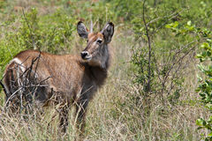 Water Buck Royalty Free Stock Photos