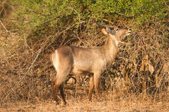 Water buck Stock Photos