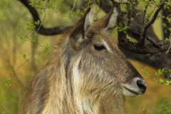 Water Buck. A close up head shot of a water buck taken in the bush in South Africa Royalty Free Stock Photos