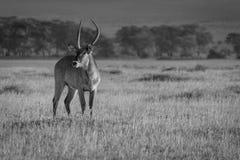 Water buck Stock Image