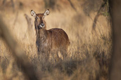 Water Buck in high grass South Africa Stock Photos